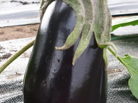 Vibrant purple Aubergine also known as Eggplant