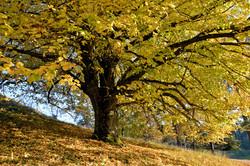 Linde im Herbstgewand, Lichtenegg