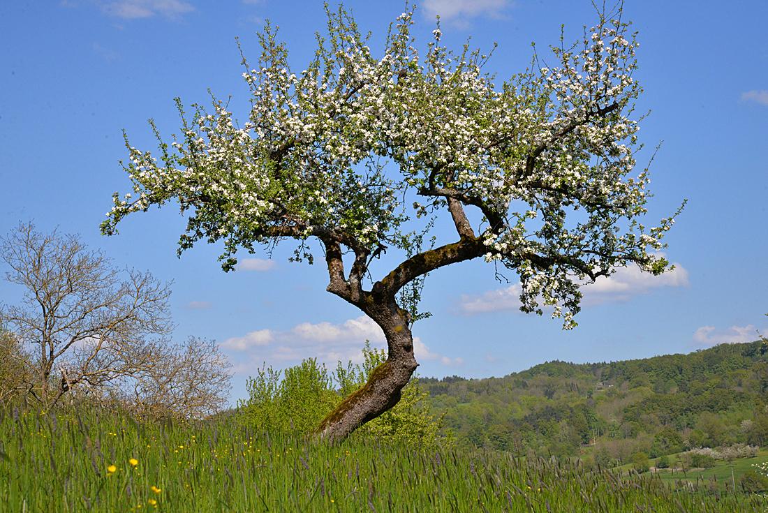 Kirschblüte bei Schnaittach