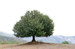 Brotbaum