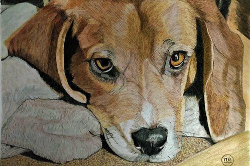 Beagle au repos