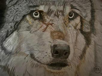 Regrad de loup