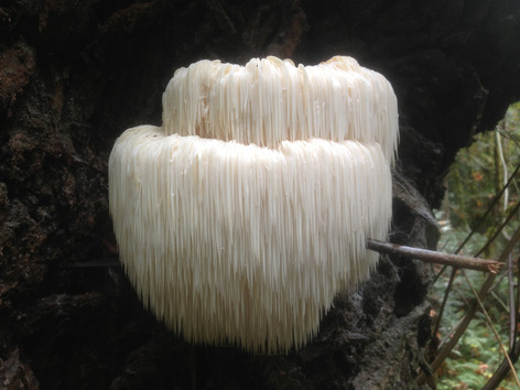 Lions Mane - good for cognitive function