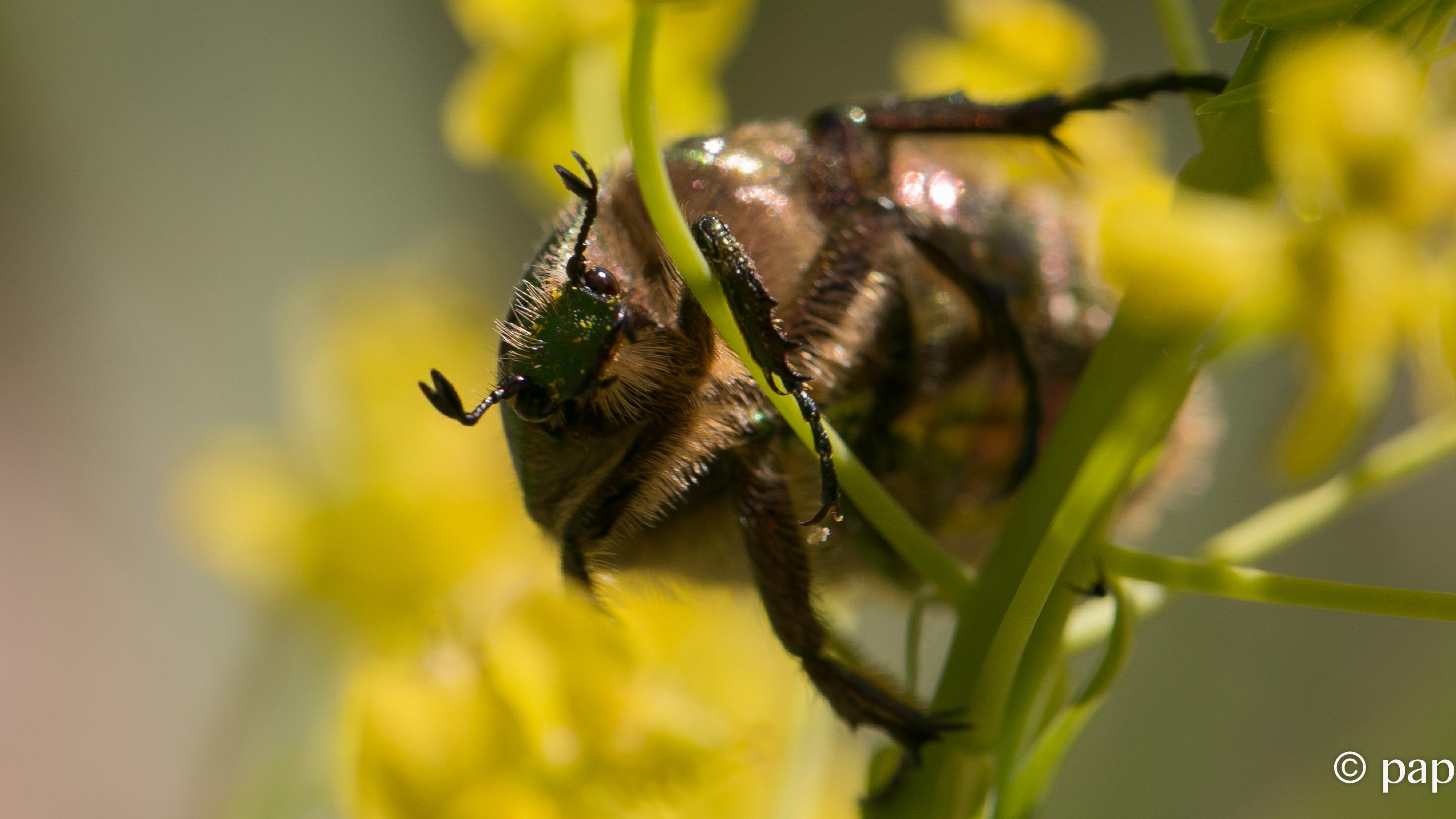 scarabée doré