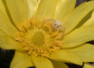 Adonis, fleur d'or qui ne pousse qu'en Valais