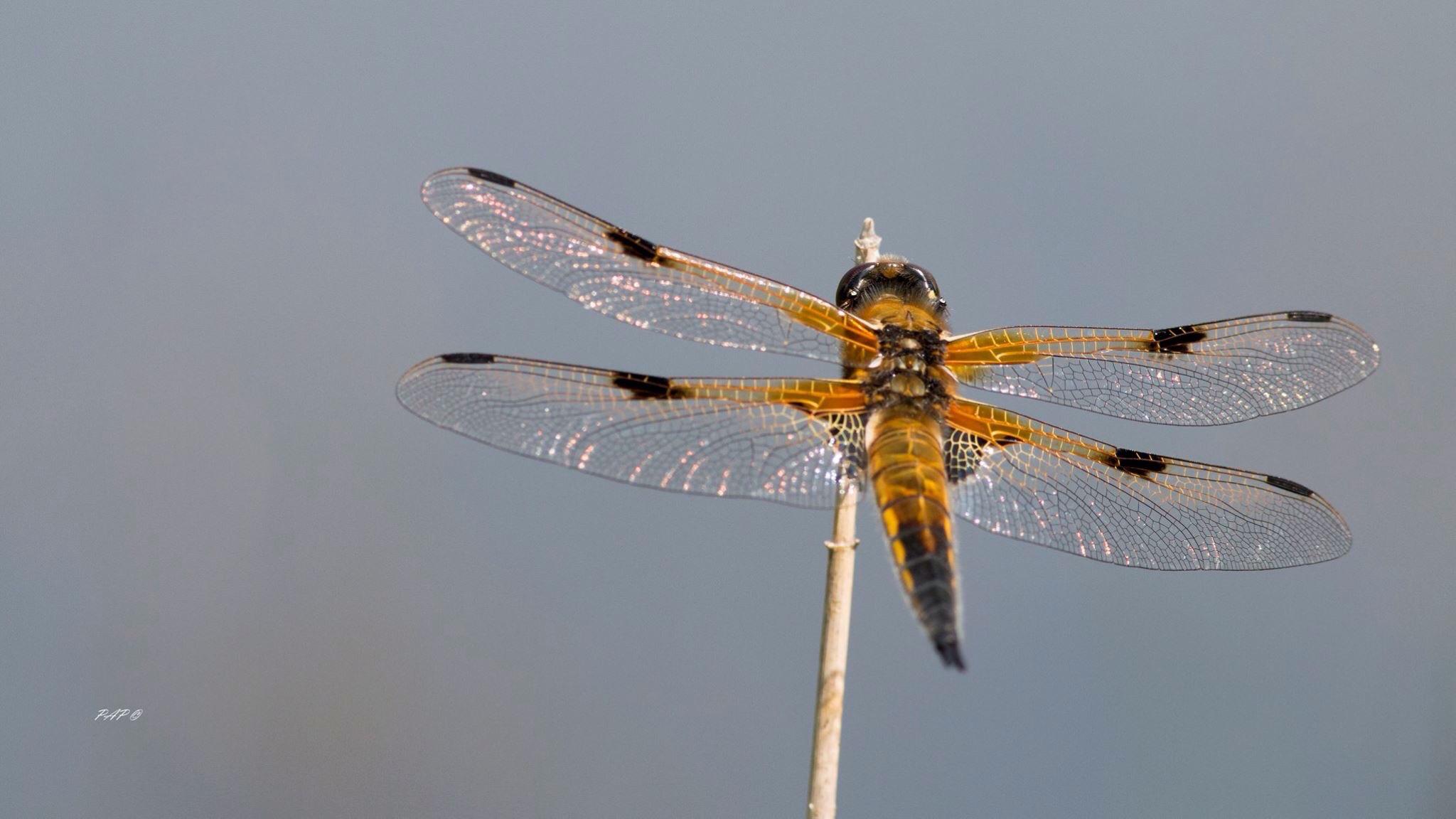 libellule a quatre taches