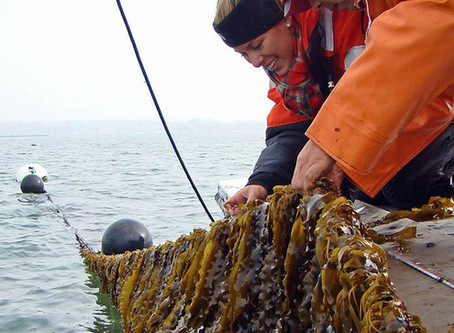 """Kelp Farming in PWS:  a webinar series for """"how to"""" and """"what do I need to know?"""""""