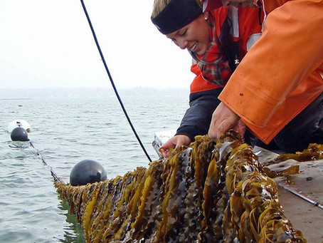 "Kelp Farming in PWS:  a webinar series for ""how to"" and ""what do I need to know?"""