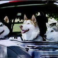 Husky Traveling