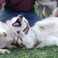 Husky fever