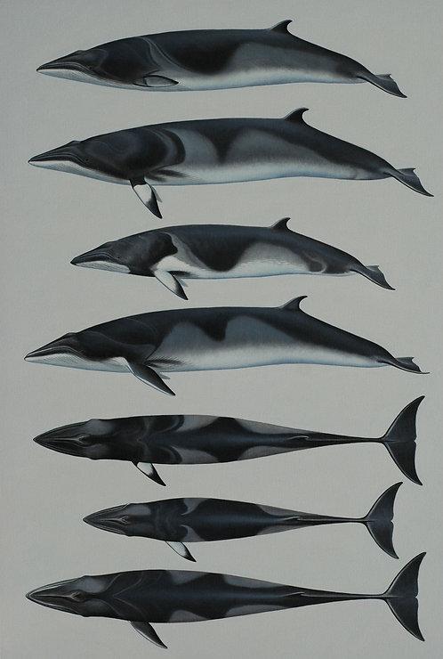 Minke Whales of the World