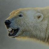'Fire and Ice' Polar Bear 54 x 45 cm mam