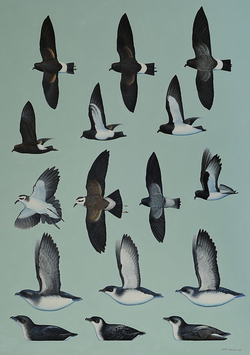 Complete Guide to Antarctic Wildlife Storm-petrels