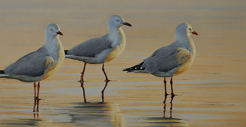 'The Golden Hour' Silver Gulls