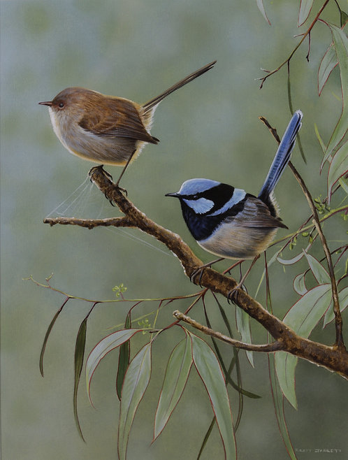 'Morning Outing' Superb Fairy-wrens