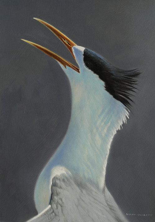 Crested Tern III