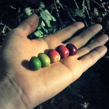 GUATEMALA SHADE-GROWN, HIGH-ALTITUDE, ORGANIC, ARTISANAL, SMALL BATCH COFFEE BERRIES FRUIT CHERRY