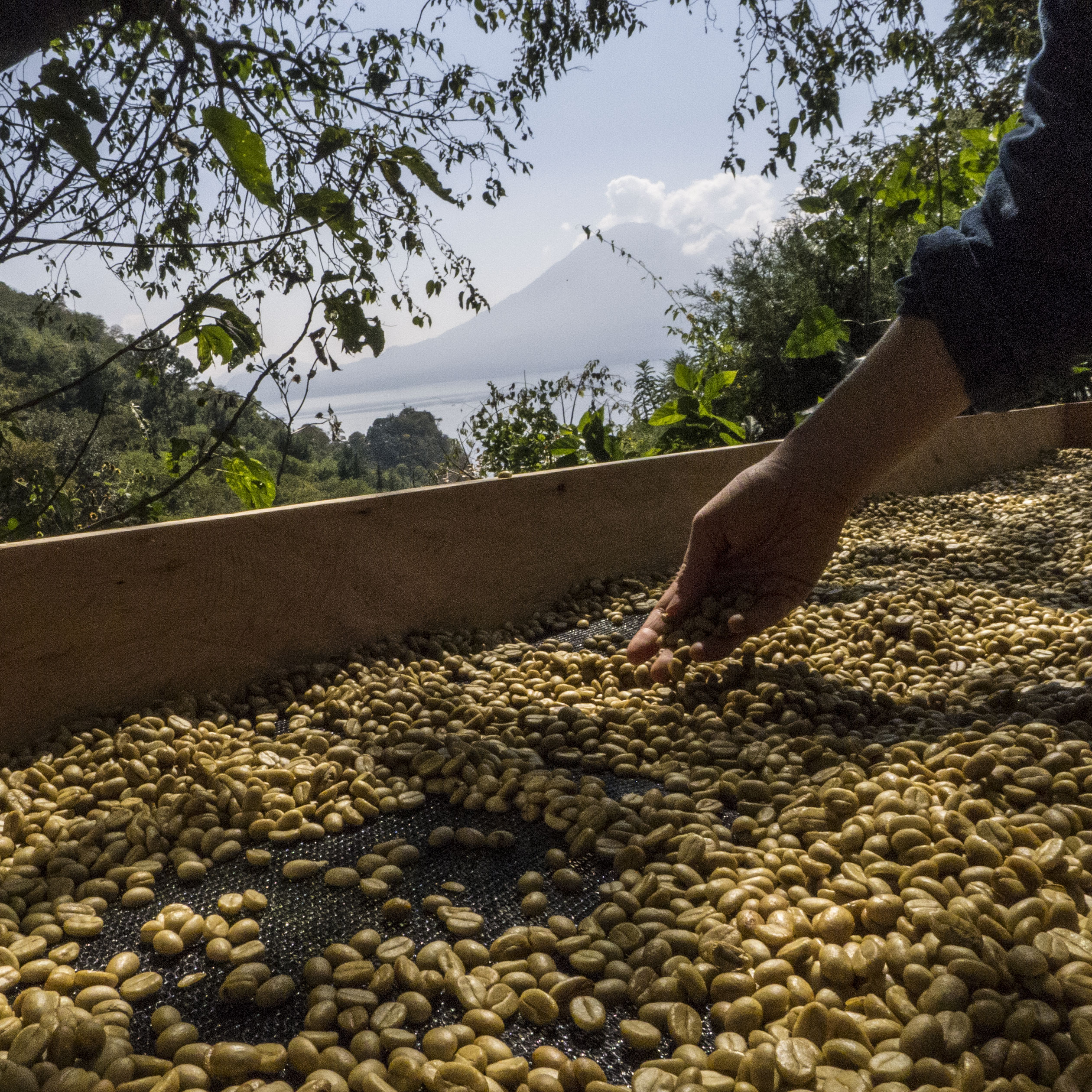 shade drying coffee beans