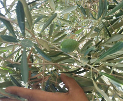 Hand Picked Olives from the Farm