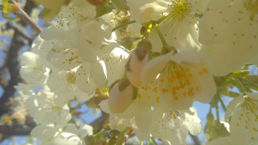 Fleurs d'aubépines, cueillies ce printemps