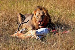 Lion with Kill, Chobe, Botswana_resize.j