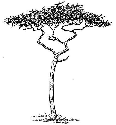 ACACIA TREE  FL3014