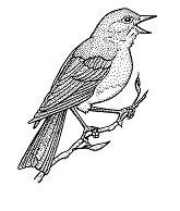 Eastern Bluebird BIR5034