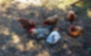 Crackpot Chicken