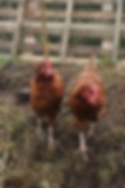 Hens2.jpg