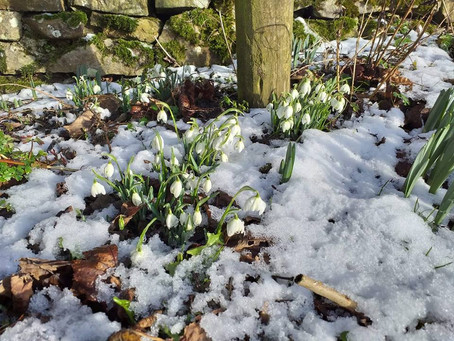 Snowdrops at Crackpot Cottage.