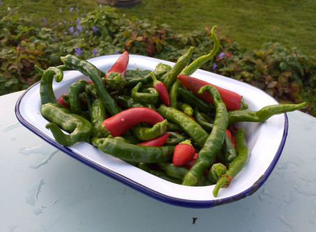 Mega Production Of Chillies At Crackpot Cottage