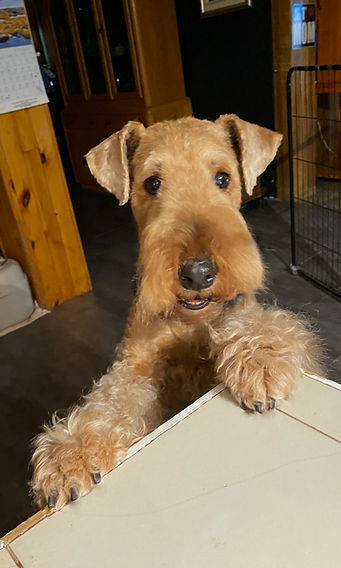 Airedale Terrier la Margeline Giroflée 9