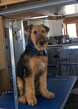 Milo  2 Airedale Terrier la Margeline.jp