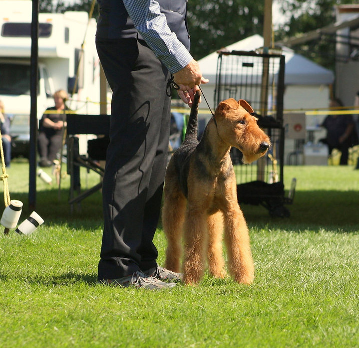 Bonnie show 2017 Airedale Terrier la Mar