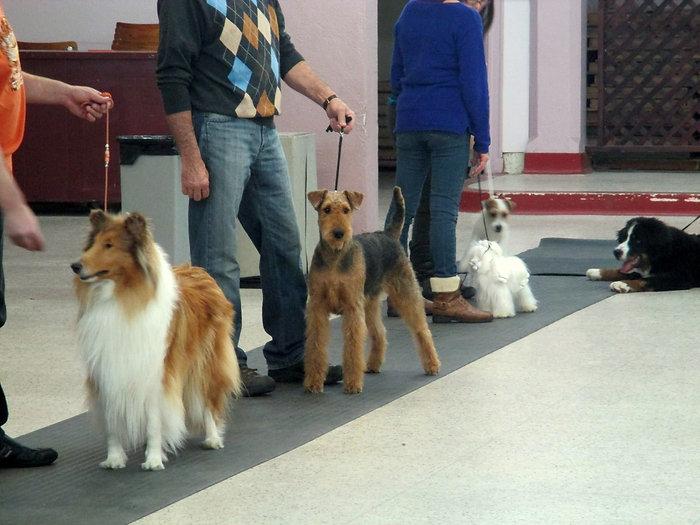 Léonie pratique 2014 Airedale Terrier la