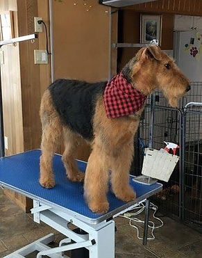 Naya 2 Airedale Terrier la Margeline .jp