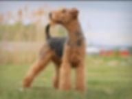 Balzac, le champ, Airedale Terrier la Ma