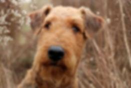 Norbert Vom Garnsee Airedale Terrier la Margeline