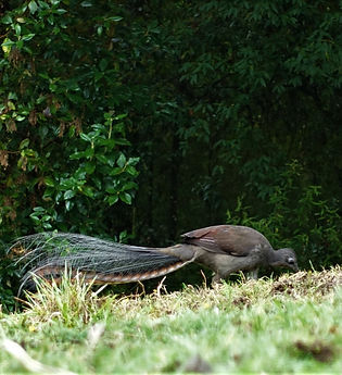a lyrebird.jpg