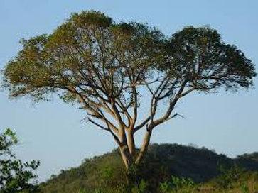 MARULA (Sclerocarya birrea)