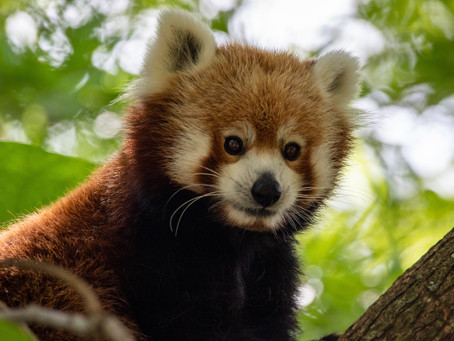 The Alluring Red Panda
