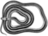 Western Terrestrial Garter Snake thumb.j