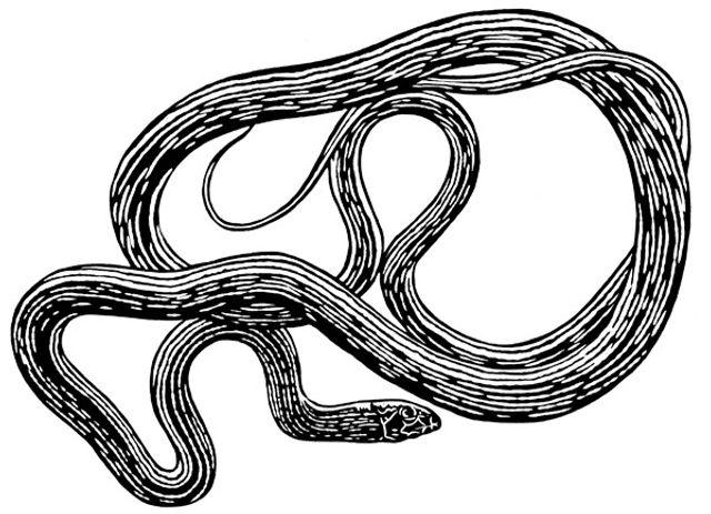 Whipsnake thumb.jpg