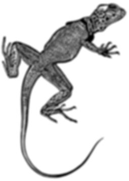 Collared Lizard thumb.jpg