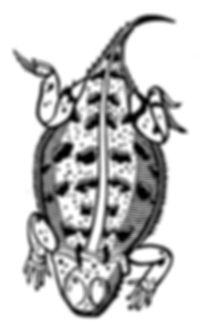 Horned Lizard thumb.jpg