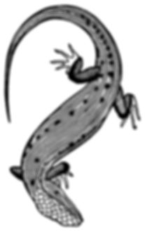 Northern Alligator Lizard thumb.jpg