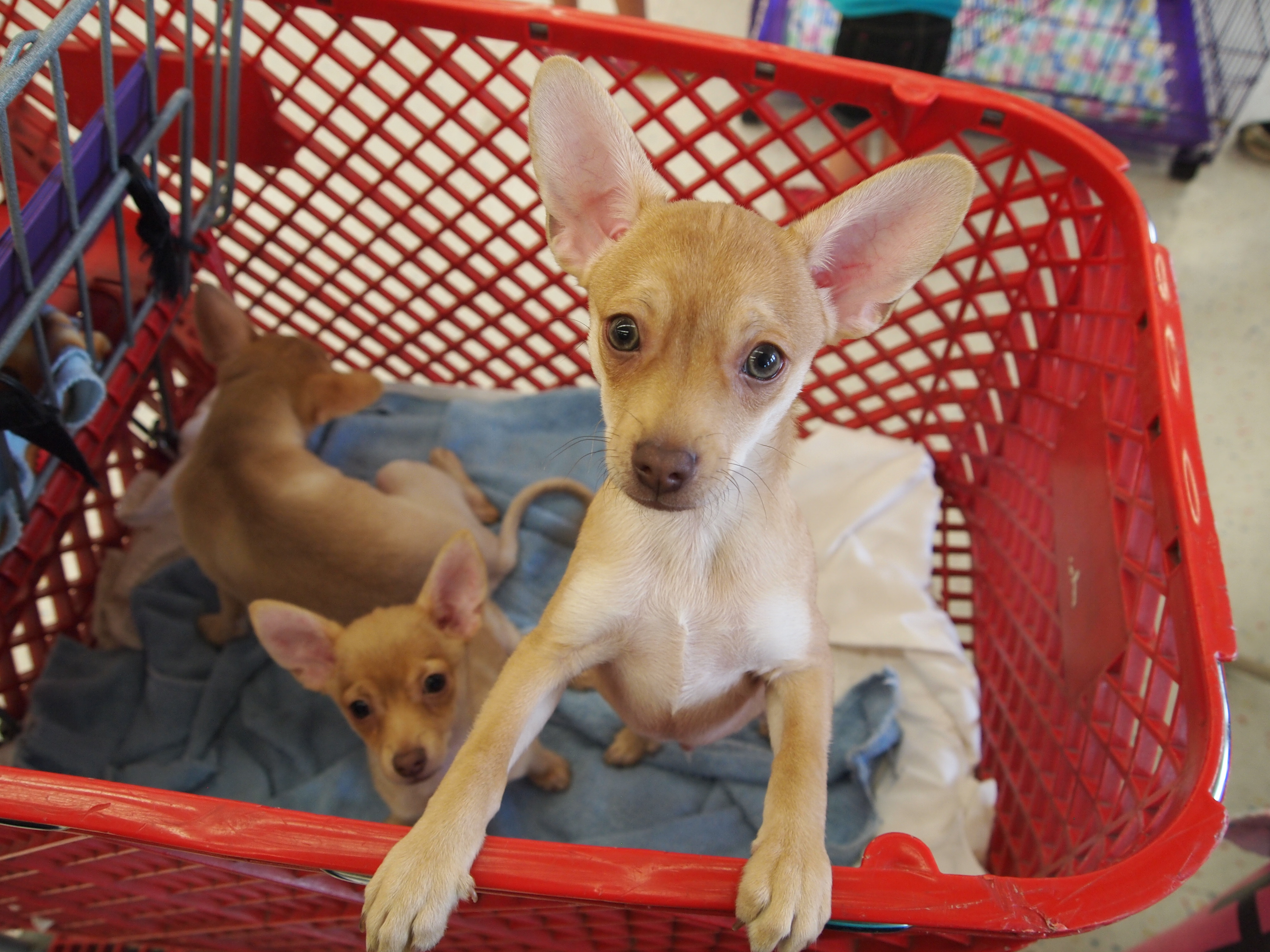 Puppies in a cart
