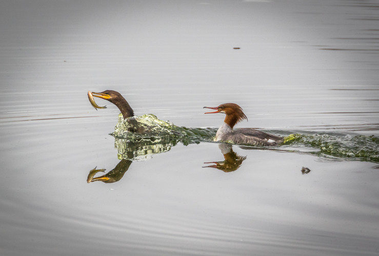 Double-crested Cormorant and Common Merganser