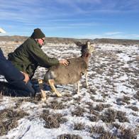 Mule Deer Collaring Program