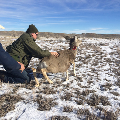 Mule Deer Collaring Program